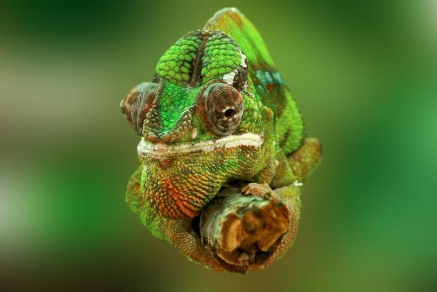 chameleon-540655_1920.jpg